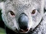 koalablink